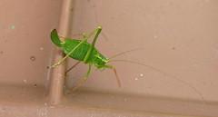 I've lost m' leg! (Les Fisher) Tags: insect cricket bushcricket missingleg