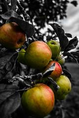 Apple tree (ShimmyGraphy) Tags: bw white black tree apple nature de landscape deutschland natur landschaft apfel apfelbaum abstrakt colorkey badenwürttemberg 2015 gh4 schwarzweis gomaringen colourkeying shimmygraphy