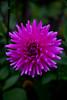 The Gem (LostnSpace2011- Back) Tags: dahlia summer flower outdoors purple border gem