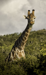 Bearded Giraffe! (DickieK) Tags: africa wild nature animal neck southafrica eating wildlife horns safari chew tall giraffe acacia