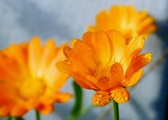 P1010054 (lilired) Tags: coth excellentsflowers natureselegantshots damniwishidtakenthat flickrflorescloseupmacros coth5 mixofflowers magicmomentsinyourlife sunshinegroup onlythebestofflickr