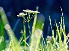 The light will be with you (broombesoom) Tags: blue green wet grass rain weather germany deutschland drops bokeh meadow wiese rainy gras grn blau regen wetter regnerisch tropfen nass regentropfen spiritofphotography