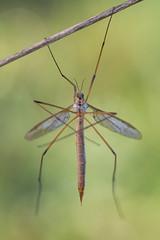 Tipula sp. (Prajzner) Tags: morning macro nature animal insect nikon poland naturallight manfrotto cranefly insecta tipula sigma105mmmacro sigma105macro macrodreams nikond7100 prajzner manfrottomt190xpro3