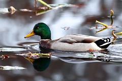 Mallard Duck  (Bill7870) Tags: canon bristol geotagged duck pa silverlake mallardduck