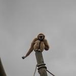 Lar gibbon thumbnail