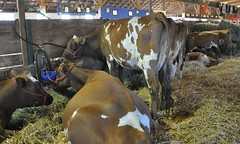 Goshen Fair 2015 (caboose_rodeo) Tags: livestock 732 dairycattle connecticutstateagriculturalfairs