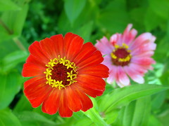 Zinnia elegans (R_Ivanova) Tags: pink flowers red summer plant flower color macro green nature colors garden sony zinnia    rivanova