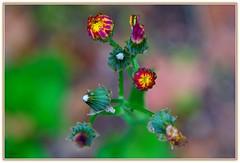 Fiori ........... (Schano) Tags: macro closeup mediterraneo natura fiore fioreselvatico ilce3000 sonyilce3000 sonyemount55210 sony3000