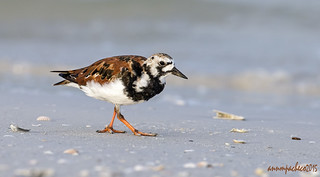 strike out for the turnstone...