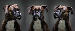 lighting light portrait orange dog brown black eye face yellow mouth hair puppy studio fur grey eyes focus triptych pattern shot minolta serious shots head expression sony coat gray dramatic canine center right highlights ring floppy portraiture ear boxer hi 28 drool manual pup brindle breed alpha left res gaze doggie facial animalplanet alert 6000 drooling pf k9 135mm eared lop yn ilce rokkor a6000 4000af yongnuo yn460ii 460ii yn560ii ilce6000