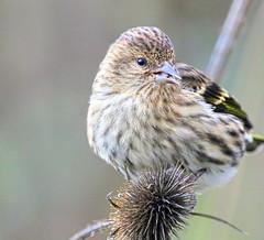 Up Close (Team Hymas) Tags: washington wildlife finch refuge ridgefield