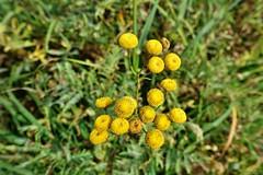auch im Herbst blüht noch etwas (mama knipst!) Tags: november natur wildblume rainfarn heilpflanze