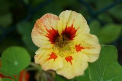 Tropaeolum majus - nasturcja wiksza (Fotoprzyroda) Tags: tropaeolum majus nasturcja wiksza