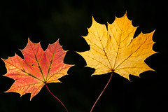 Autumn Red & Gold (Mukumbura) Tags: autumn red orange sun sunlight tree green fall leaves yellow gold maple seasons patterns foliage sycamore veins outline shape backlighting gettyimages