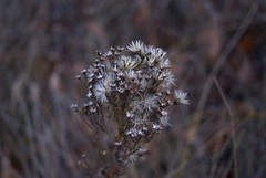 Fragile Autumn (melleus) Tags: autumn fall nature grass silver grey seasons dry d200 imagemagick dcraw