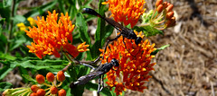 two thin-waisted wasps on butterflyweed (2) (Martin LaBar) Tags: flowers macro wasp southcarolina apocynaceae wasps hymenoptera butterflyweed asclepiastuberosa pickenscounty