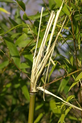 PICT7236 (wdeck) Tags: bamboo bambus seepark
