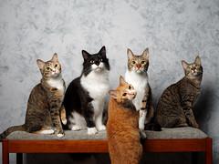 . (rampx) Tags: cat hana neko 猫 ねこ irori musashi miaw vicke hiyori