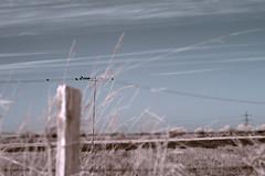 Ravens (dogtemple) Tags: crows ravens solitudeofravens sky infrared bleak bleaklandscape