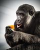 that tastes good (blende74.de) Tags: hscandy zoo gorilla good thump fruit