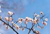 Japanese apricot #2 (yamabuki***) Tags: asc5900 梅 向島百花園