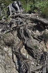 radici, roots (paolo.gislimberti) Tags: macro wood bosco alberi trees