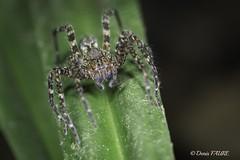 Arthropodes - Arachnide - Guyane (denisfaure973) Tags: arthropodes arachnide guyane