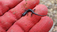 Western Slimy Salamander, Juvenile (kaptainkory) Tags: herp amphibian salamander caudata salamanderplethodonalbagula western slimy glove hand holding fingers juvenile young baby bellavista ar unitedstatesofamerica usa