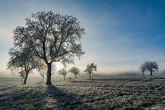 le brouillard est proche (alain.winterberger) Tags: arbre arbres tree trees brouillard brume givre paysage suisse switzerland schweiz svizerra nikon nikonpassion nature d7100 sigma 1770 rayons soleil romandie vaud grosdevaud echallens bfv400