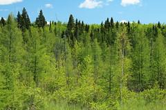 Larix laricina-04 (The Tree Library (TreeLib.ca)) Tags: tamarack larixlaricina