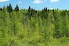 Larix laricina-04 (Tree Library) Tags: tamarack larixlaricina