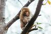 20170131-8M7A5524 (chris_peng) Tags: 獼猴 猴子