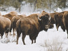 Bison, Zion National Park, Utah (Jeff Rose Photography) Tags: bison buffalo utah zionnationalpark winter snow southwest jeffrosephotography animal