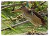 Martinet menut - Ixobrychus minutus - Avetorillo -  Little bittern (aurearamon) Tags: birds aves pajaros olympus em5 leica100400f463 micro43 ixobrychusminutus elremolar viladecans barcelona catalunya spain