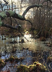 #Sunset #swamp #wetlands #marsh #sticks #bushes #branches #ground #reflecting #light #leaves #ice #cold #covered #winter #nature #woods #forest #fall #trees #Mike #Liebler #Connecticut #Vernon #CT (mikeliebler222) Tags: swamps twigs bush icewater icewatersunset water wet sundown evening dusk settingsun sunset swamp wetlands marsh sticks bushes branches ground reflecting light leaves ice cold covered winter nature woods forest fall trees mike liebler connecticut vernon ct