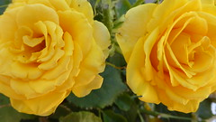 P1080939 (omirou56) Tags: yellowrose 169ratio panasoniclumixdmctz40 κιτρινο τριανταφυλλο κοντινο macro garden plant