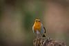 robin red breast (ben cairns) Tags: bird robin isleofwight alverstone alverstonemead hide perch breast feathers red orange beak native nikond5200 plumage nikon55300