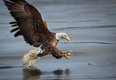 Due for a Mani (TroyMarcyPhotography.com) Tags: 11windchill americanbaldeagle canon400mmf56l canon7d illinois iowa mississippiriverbaldeagles2017 winter birds cold nature wildlife wwwtroymarcyphotographycom