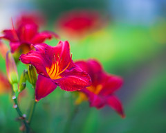 DayLily Rainbow... (zoomclic) Tags: canon closeup colorful red green garden yellow purple plant outdoors orange nature dof dreamy daylily 5dmarkii ef85mmf12liiusm flower foliage flowers trio bokeh bright happy serene zoomclicphotography