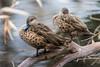 Grey Teals (emmoff) Tags: australia birds ducks elwood elwoodcanal fauna greyteal rivers vic
