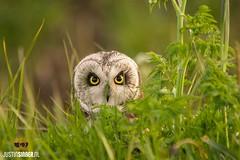 Short eared owl at Texel. #owl #wadden #bird #justin #sinner #birding #eyes #wadden #canon #happy #stunning #vogel #Texels #texelpics #nature #natuur #holland #netherlands (JustinSinner.nl) Tags: short eared owl texel wadden bird justin sinner birding eyes canon happy stunning vogel texels texelpics nature natuur holland netherlands velduil uil raptor