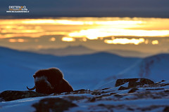 Muskox (Nicola Destefano) Tags: muskox buemuschiato ovibosmoschatus dovrefjellnp norway winter artic snow sunset animal wildlife mammal oneanimal nobody landscape environment tundra vanguard