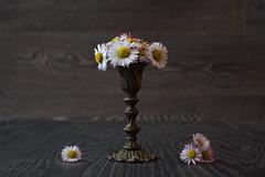A day for daisies ... (Lichtbursche) Tags: blumen blüte gänseblümchen holz stillleben tisch vase bloom daisy flowers stilllife table weis white wood mecklenburgvorpommern deutschland de