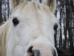 DSCN3650 (keepps) Tags: switzerland suisse schweiz vaud bogisbossey winter animal horse