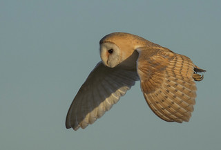 Barn Owl - An eye on the camera Man