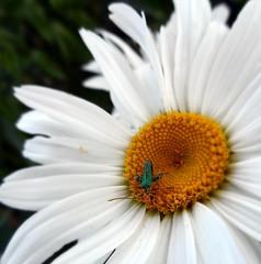 maschera di polline (fotomie2009) Tags: oedemera coleottero coleoptera beetle insect insecta insetto pollination impollinazione flower fiore flora