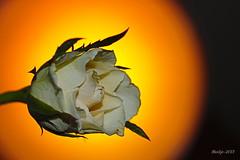 IMG_011980 - In the light of the sun (Monique van Gompel) Tags: tamron tamronsp90mmf28dimacro11vcusd tamronsp90mm canon canoneos750d 750d macrofotografie macrophotography light sunlight flower bloem rose roos witteroos whiterose wit with sunshine yellow orange geel oranje inthelightofthesun inhetlichtvandezon