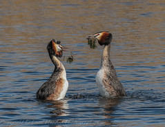 Great Crested Grebes - the end of the moment (hunt.keith27) Tags: plumes head ornate waterbird fish podicepscristatus courtship somerset weed dance grebes greatcres distinguishedpictures