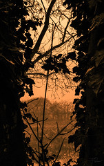 Silhouette of Ivy (Course Project 19) (Coisroux) Tags: trees ivy silhouette riverbank embankment water rivers decay darkness shadows dusk auburn sunsets luminescent glimmer glowing reflections d5500 nikond greenwheel peterborough umber courseprojects