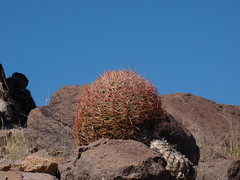 Ferocactus cylindraceus  DSC00219 (sierrarainshadow) Tags: ferocactus cylindraceus dry wash new york mountains mojave national preserve